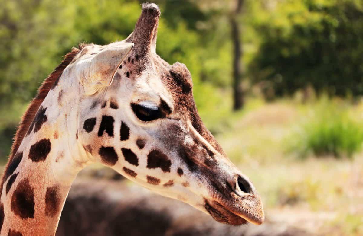 žirafa, safari, příroda, zvíře, divoké, volně žijící zvířata, hlava
