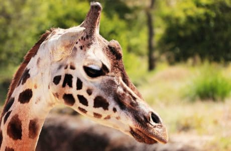 giraffe, safari, nature, animal, wild, wildlife, head