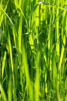 flora, leaf, grass, rice, field, plant, food, meadow, lawn