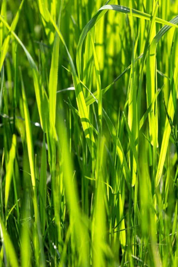flora, blade, græs, ris, felt, plante, mad, eng, græsplæne