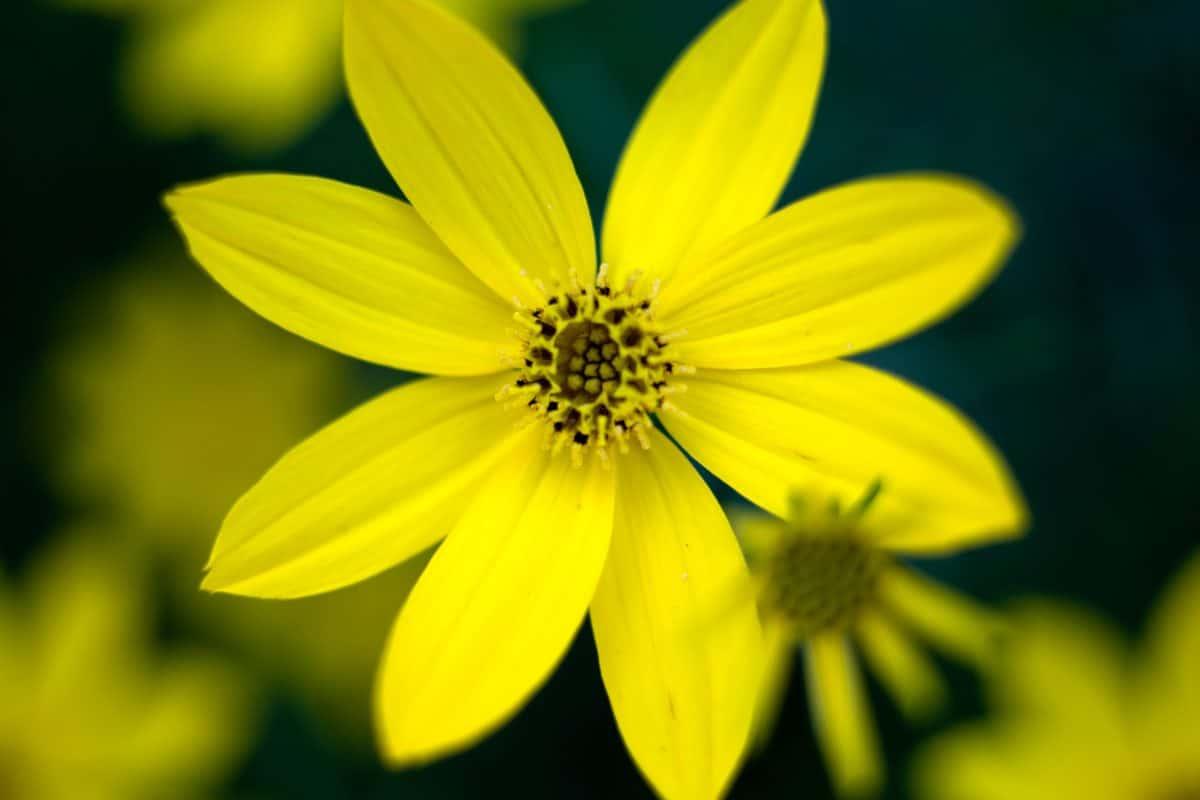 trädgårdsodling, natur, sommar, blomma, växt, kronblad, trädgård, blossom