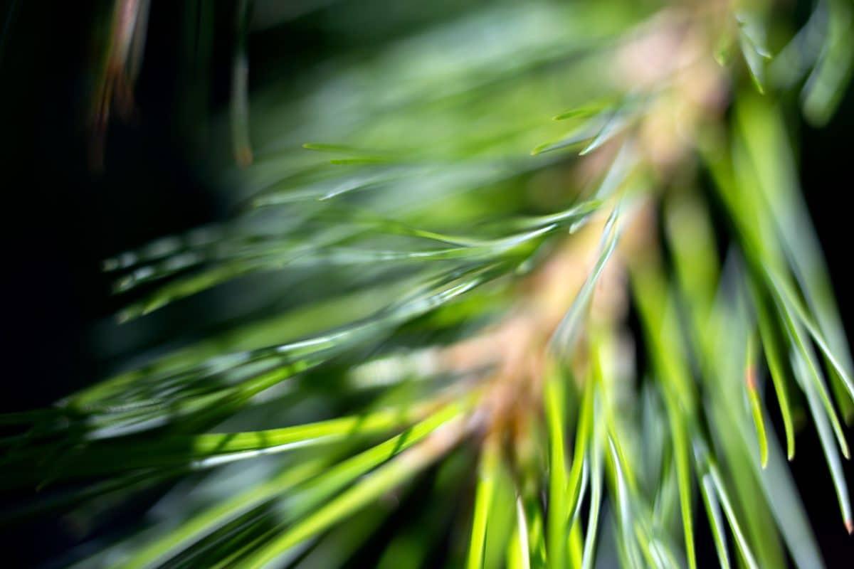 зелени листа, природа, флора, иглолистни, клон, детайл