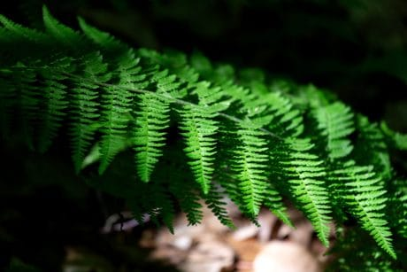 leaf, nature, fern, flora, shadow, branch, ecology, plant, forest
