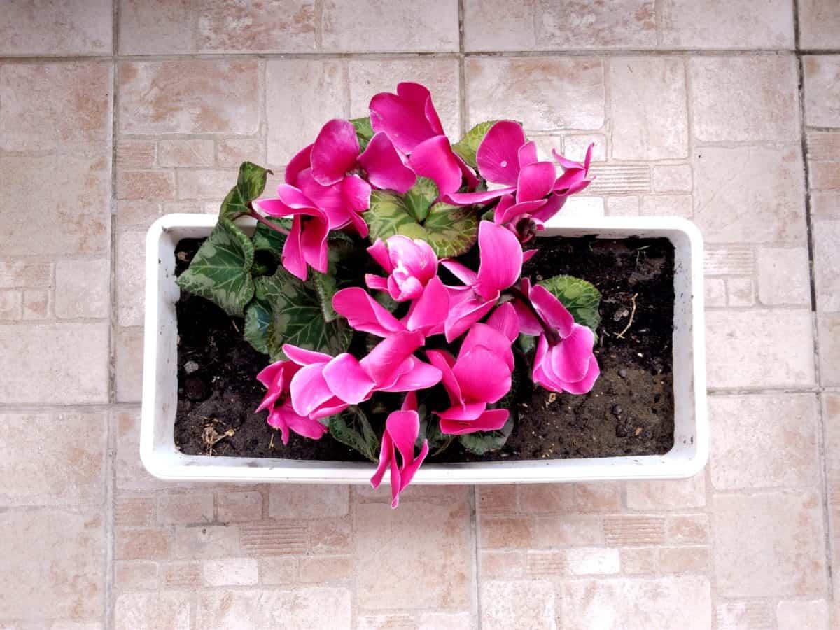 uspořádání, růžový, fialový květ, Zátiší rostlin