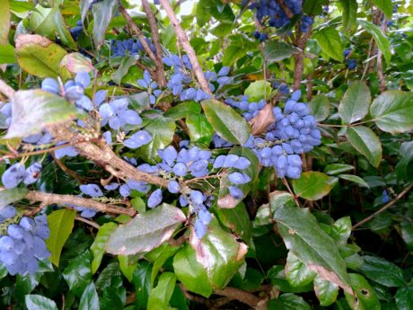 shrub, flora, nature, tree, garden, leaf, fruit, plant, outdoor