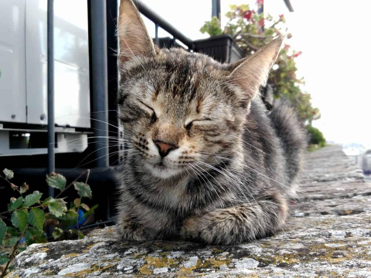domestic cat, nature, fur, kitten, cute, portrait, animal, feline
