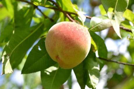 peach, orchard, nature, summer, fruit, leaf, food, tree, garden, branch