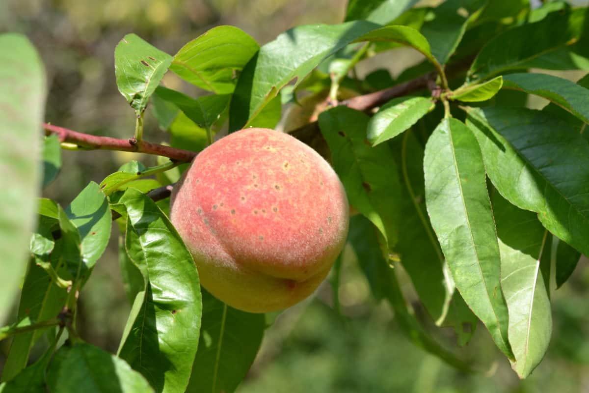 自然、木、桃、果樹園、支店、食品、植物、葉、果実