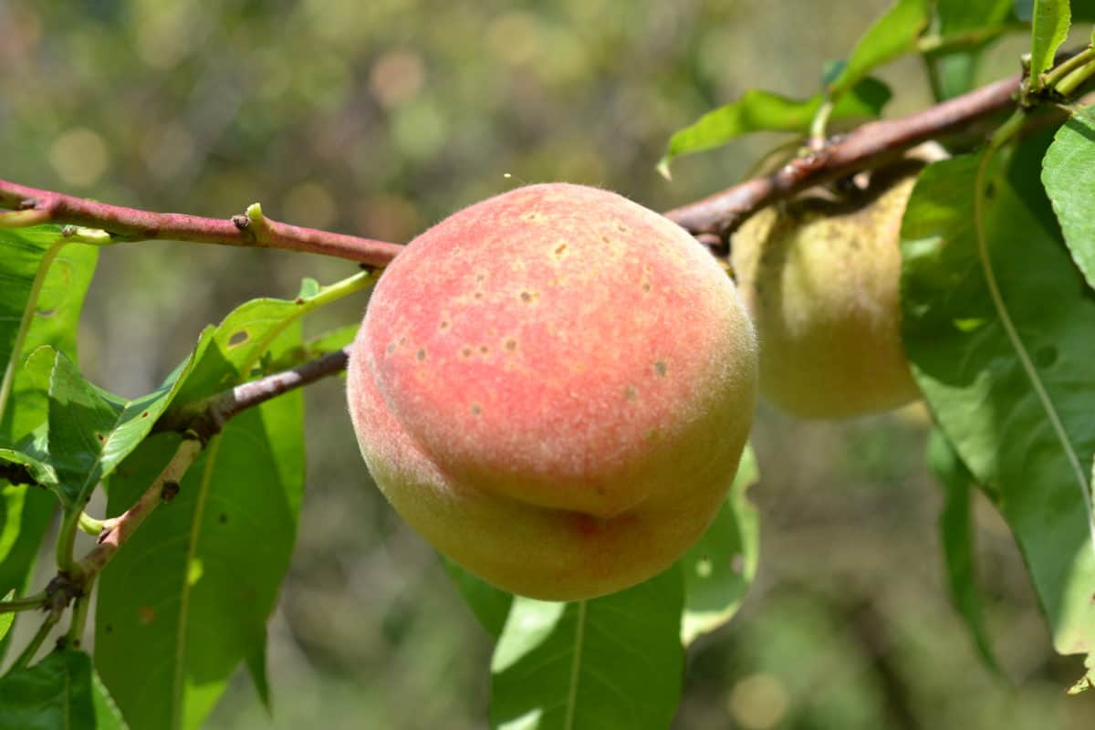 fruit, peach, orchard, flora, leaf, branch, nature, tree, food, agriculture