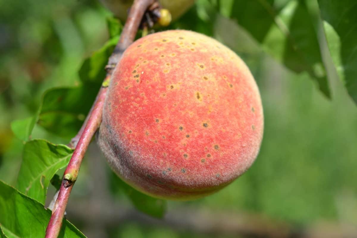 peach, orchard, nature, food, leaf, fruit, tree, sweet, organic