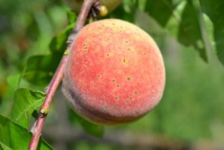 peach, orchard, nature, food, leaf, fruit, tree, sweet, organic