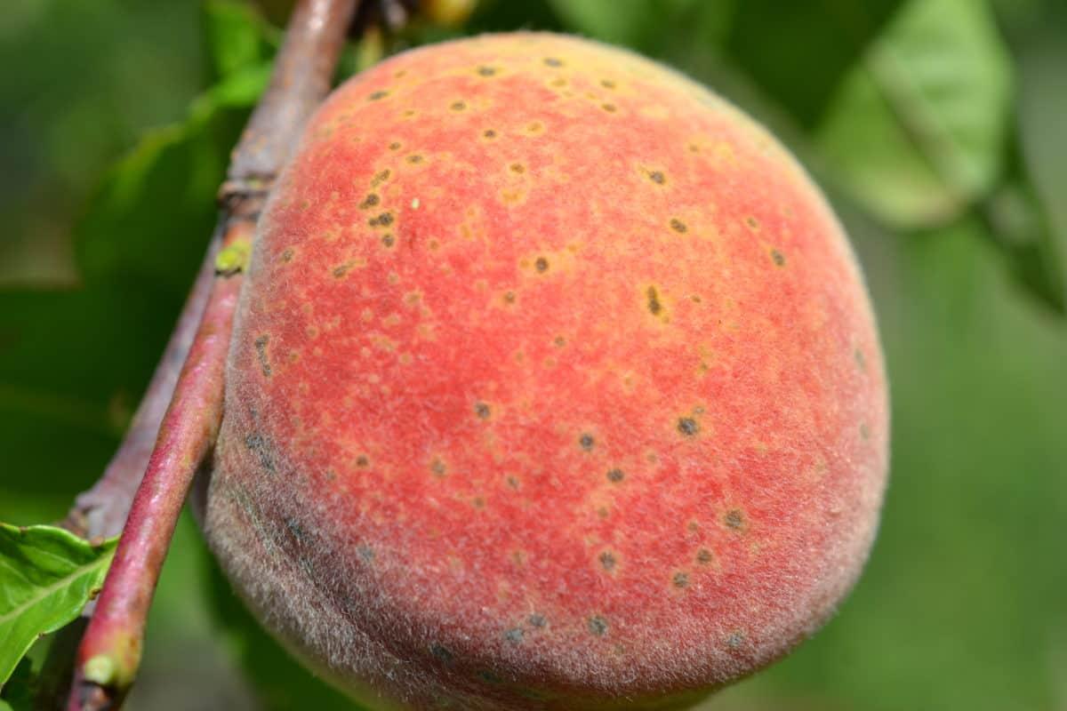 水果, 食物, 自然, 叶子, 桃子, 果园, 甜, 有机, 树