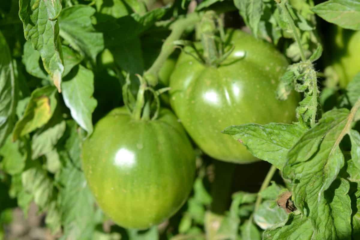 vegetable, green tomato, nature, food, agriculture, nutrition, fruit, leaf