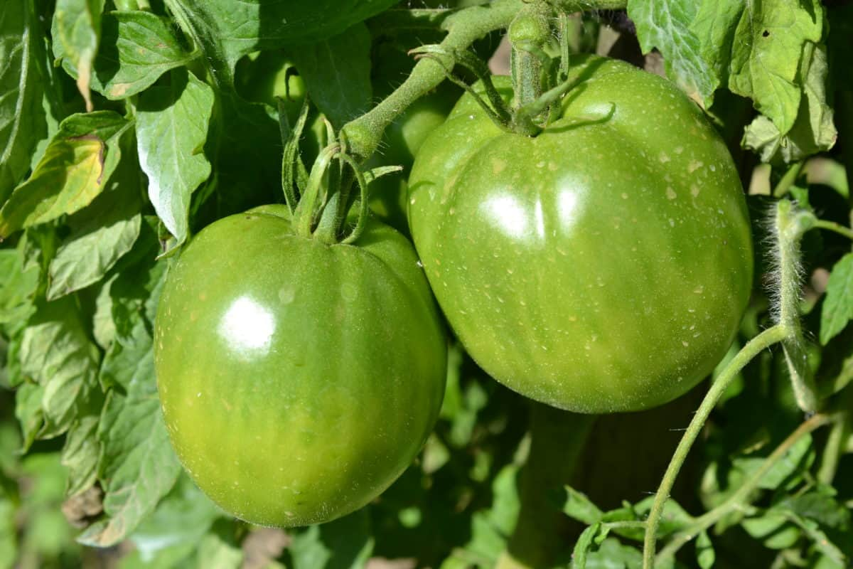 green tomato, food, leaf, fruit, nature, vegetable, agriculture, nutrition