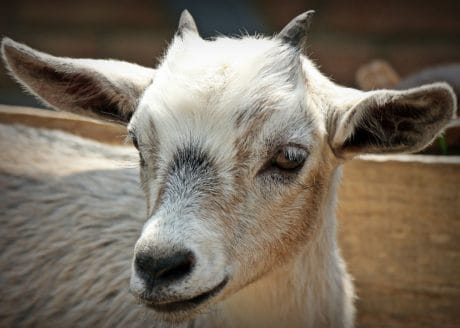 cute, animal, portrait, nature, animal, goat, young