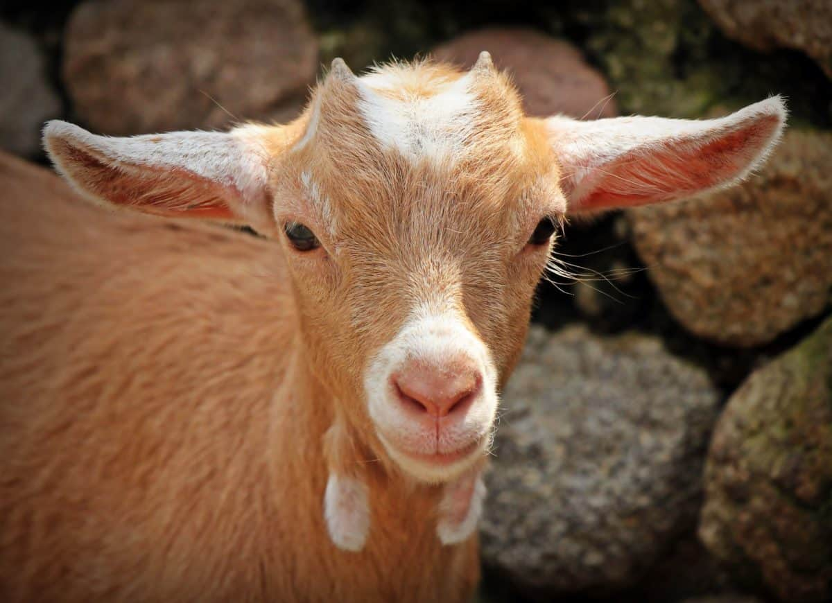 sheep, head, brown, cute, livestock, nature, animal, goat, young