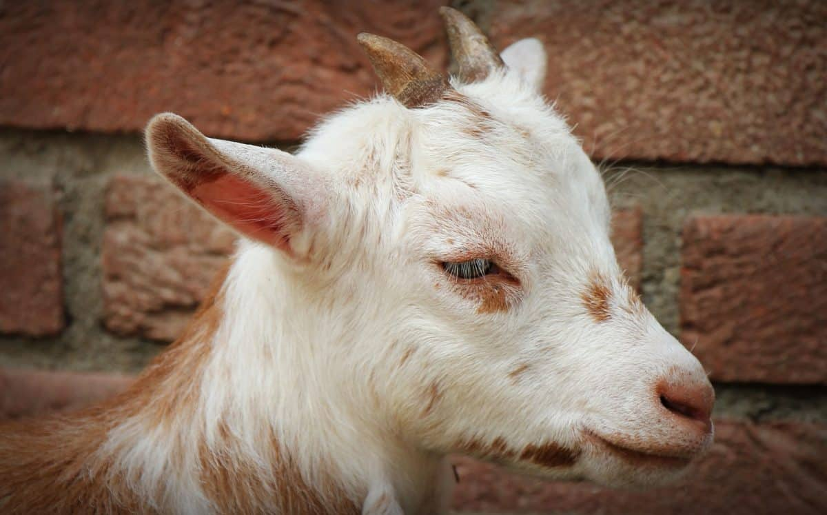 portrait, animal, horn, cute, goat, young, brick wall, head