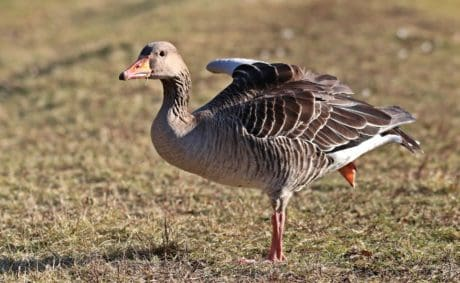 wild goose, waterfowl, wildlife, poultry, animal, bird, nature