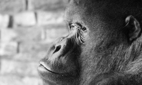 gorilla, monochrome, face, head, skin, primate, monkey, wildlife, animal, fur