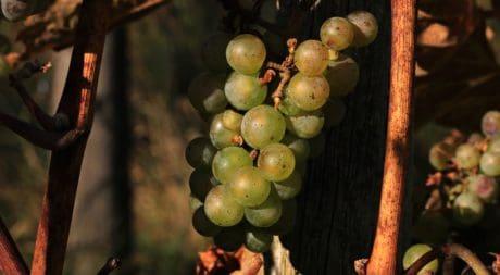 Grapevine, mad, vingård, frugt, drue, landbrug, plante