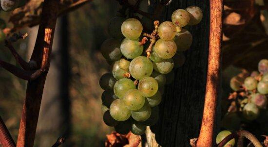 Weinrebe, Lebensmittel, Weinberge, Obst, Trauben, Landwirtschaft, Pflanzen