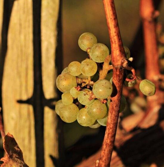 raisin, vigne, viticulture, nourriture, baies, fruits, vignoble
