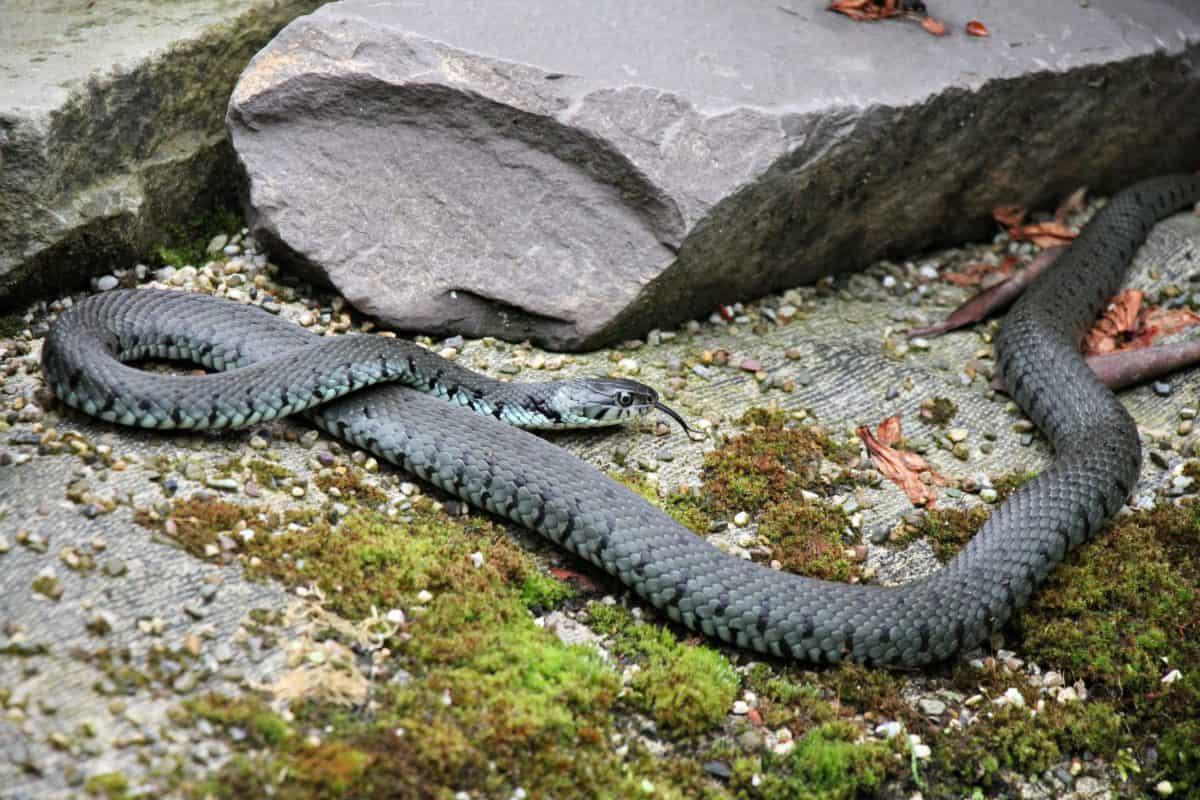 moss, outdoor, snake, animal, stone, nature, predator