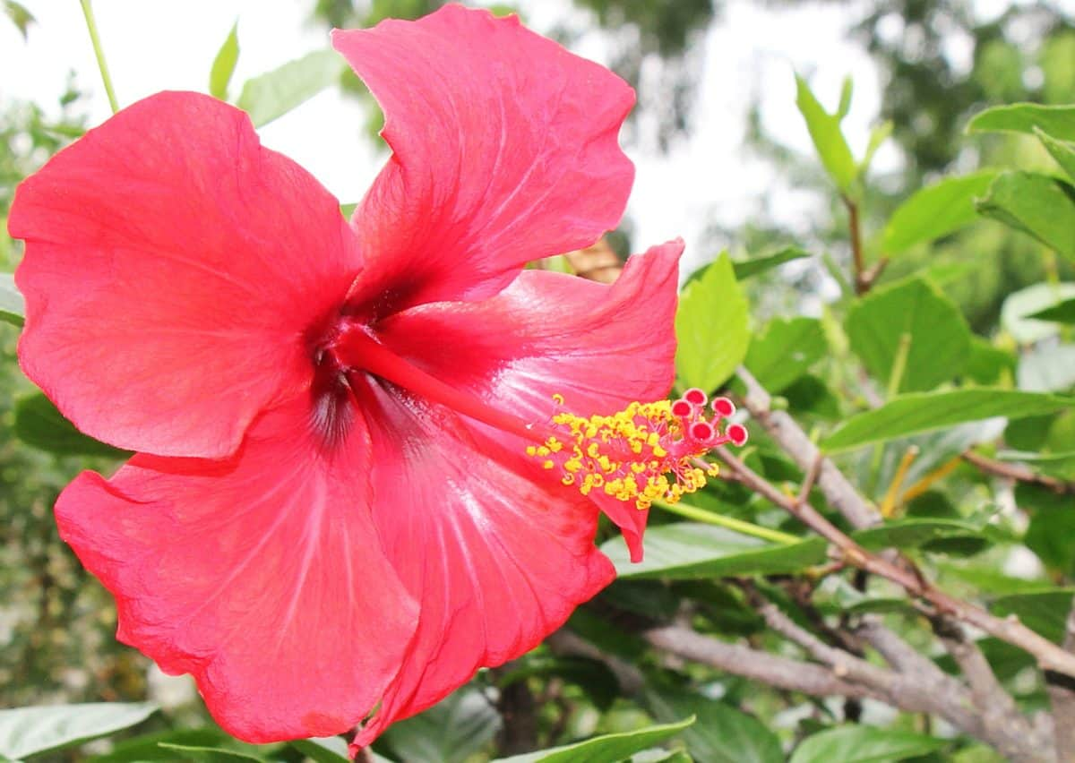Roter Hibiskus, Stempel, Natur, Flora, Sommer, Blatt, Blume, Garten, Pflanze, Blüte