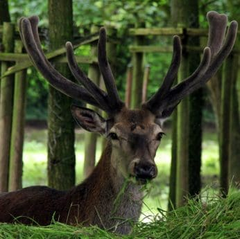 wildlife, deer, horn, wood, antler, forest, animal