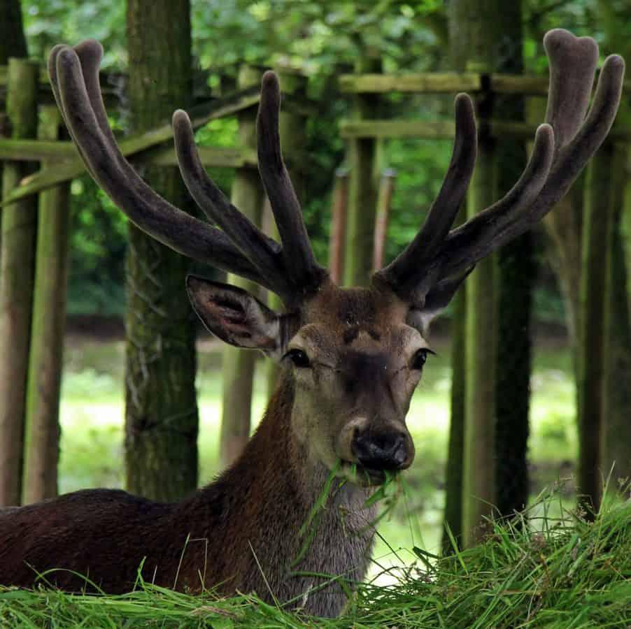 dieren in het wild, hert, hoorn, hout, gewei, bos, dier