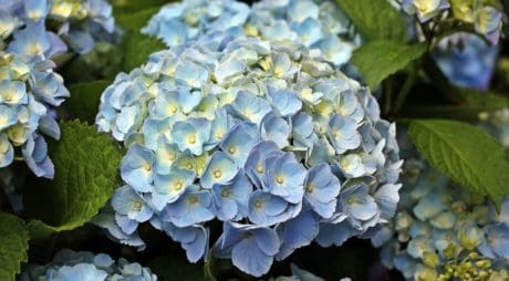 flower, summer, garden, nature, leaf, hydrangea, plant