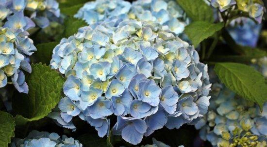 Blume, Sommer, Garten, Natur, Blatt, Hydrangea, Pflanze