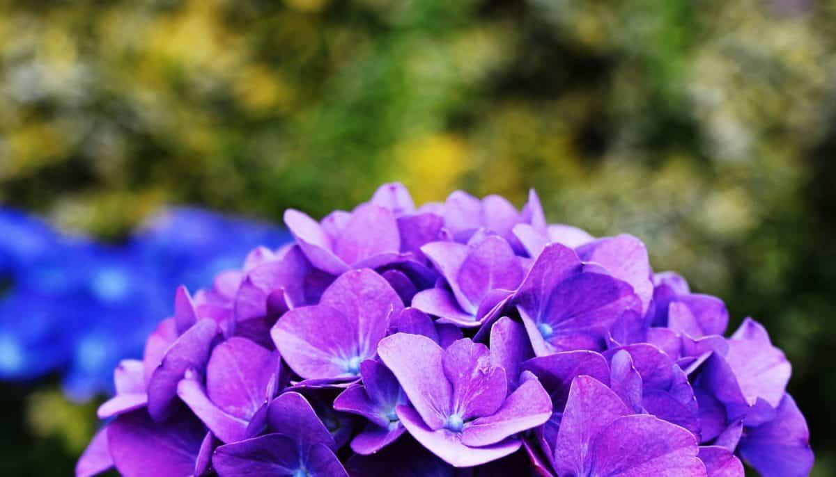 hortensia, löv, blomma, natur, sommar, trädgård, växt, lila