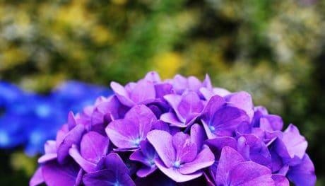 ไฮเดรนเยีย, ใบ, ดอกไม้, ธรรมชาติ, ฤดูร้อน, สวน, พืช, ม่วงไลแลค