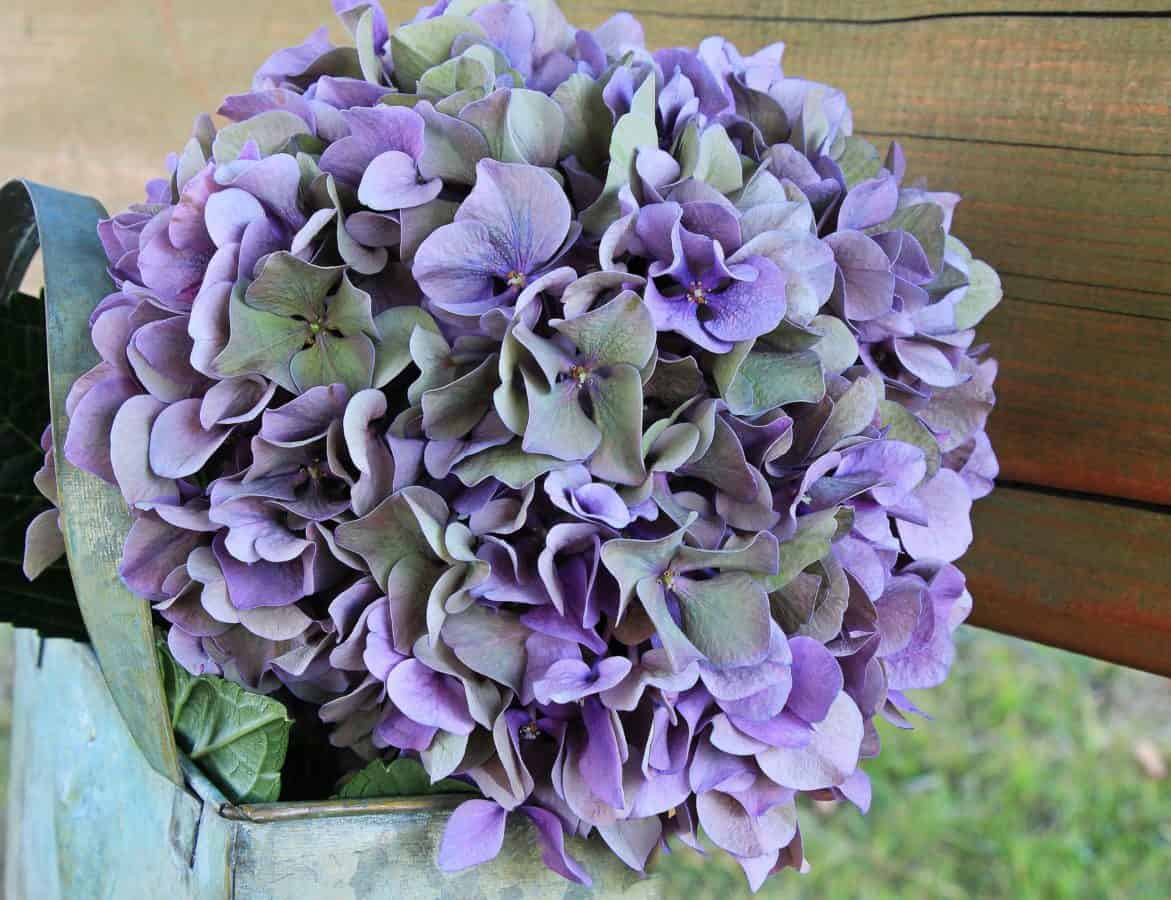 flower, purple, nature, garden, hydrangea, leaf