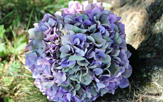 Hortensie, Natur, Flora, Blumen, Blatt, Pflanze, Rasen, Sommer