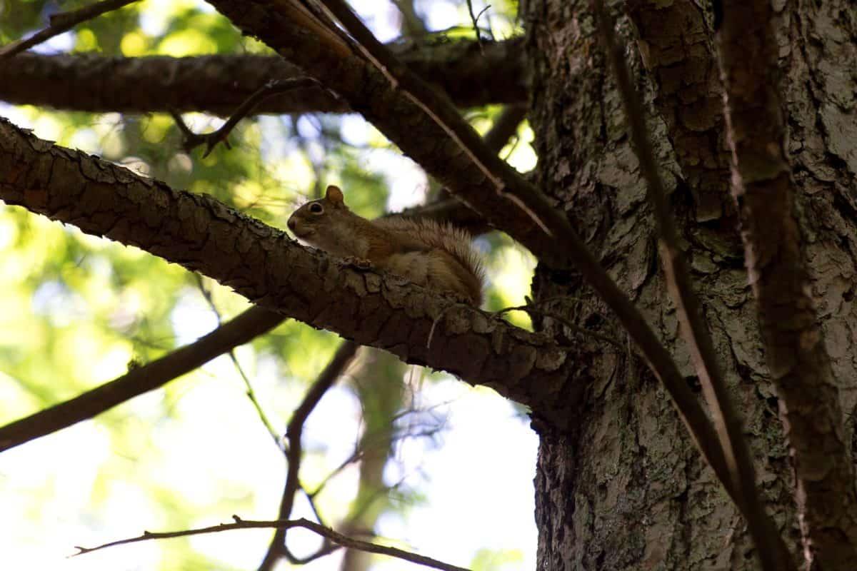 Wiewiórka, drewno, natura, drzewo, przyrody, lasu, oddział