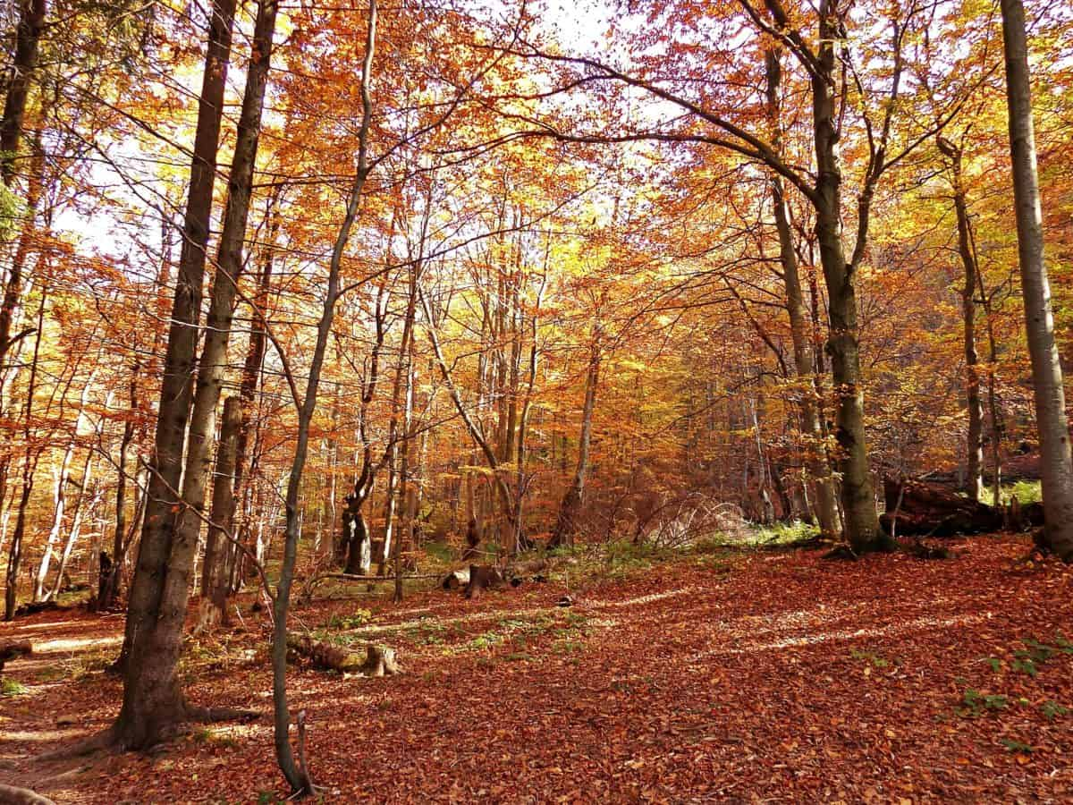 landscape, wood, nature, tree, leaf, autumn, forest, birch
