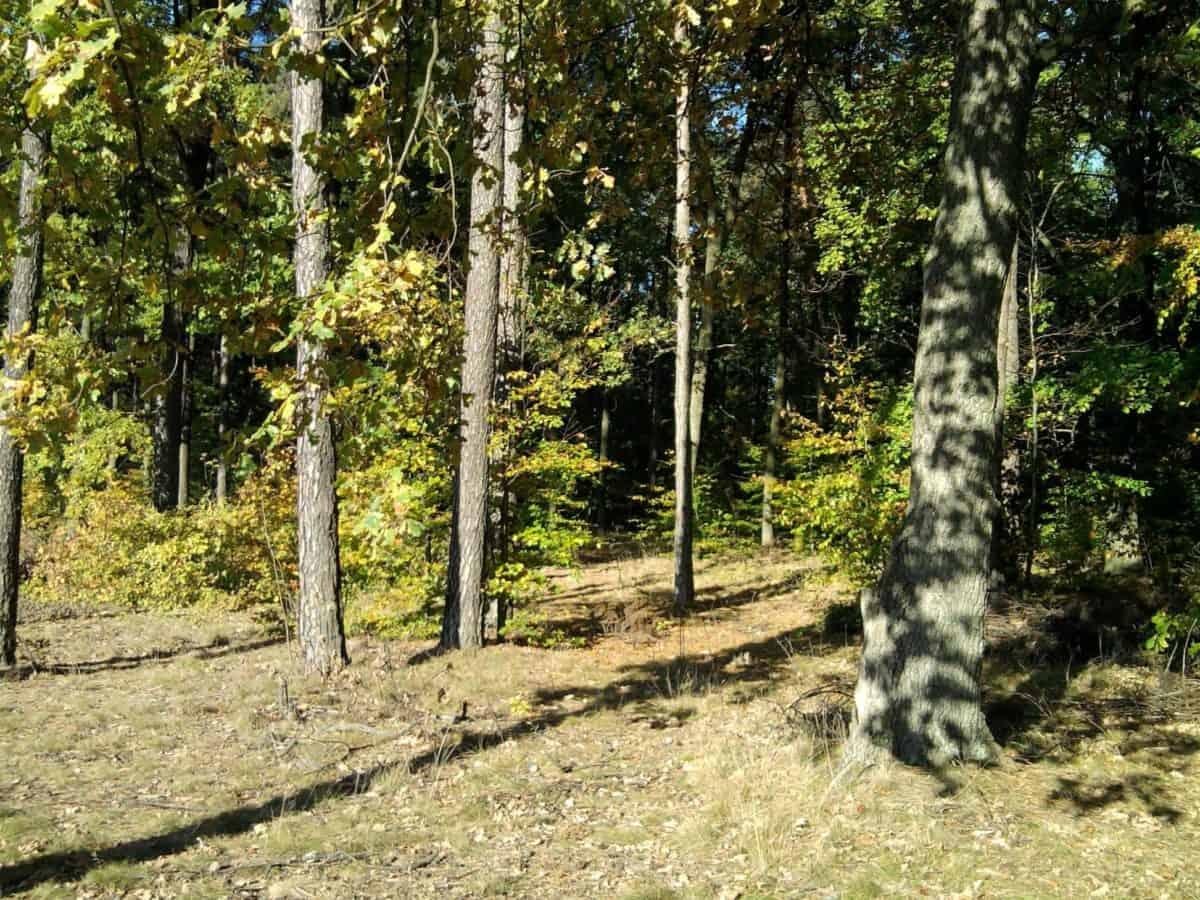 soleil, été, paysage, feuille, arbre, flore, nature, bois, bouleau