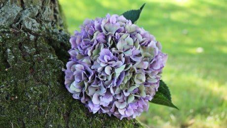 zahrada, léto, květiny, list, příroda, hortenzie, rostlina