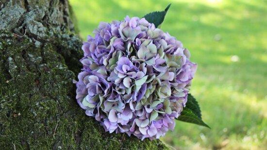 Garten, Sommer, Blume, Blatt, Natur, Hydrangea, Pflanze