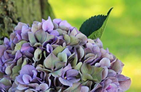 アジサイ、庭、葉、夏、花、自然、植物、ブロッサム、花びら