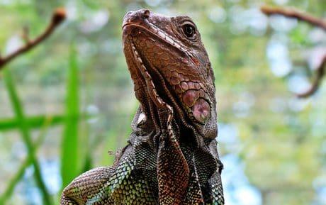 jaszczurka, gad, głowy, dzikość, iguana, oko, natura, zwierząt