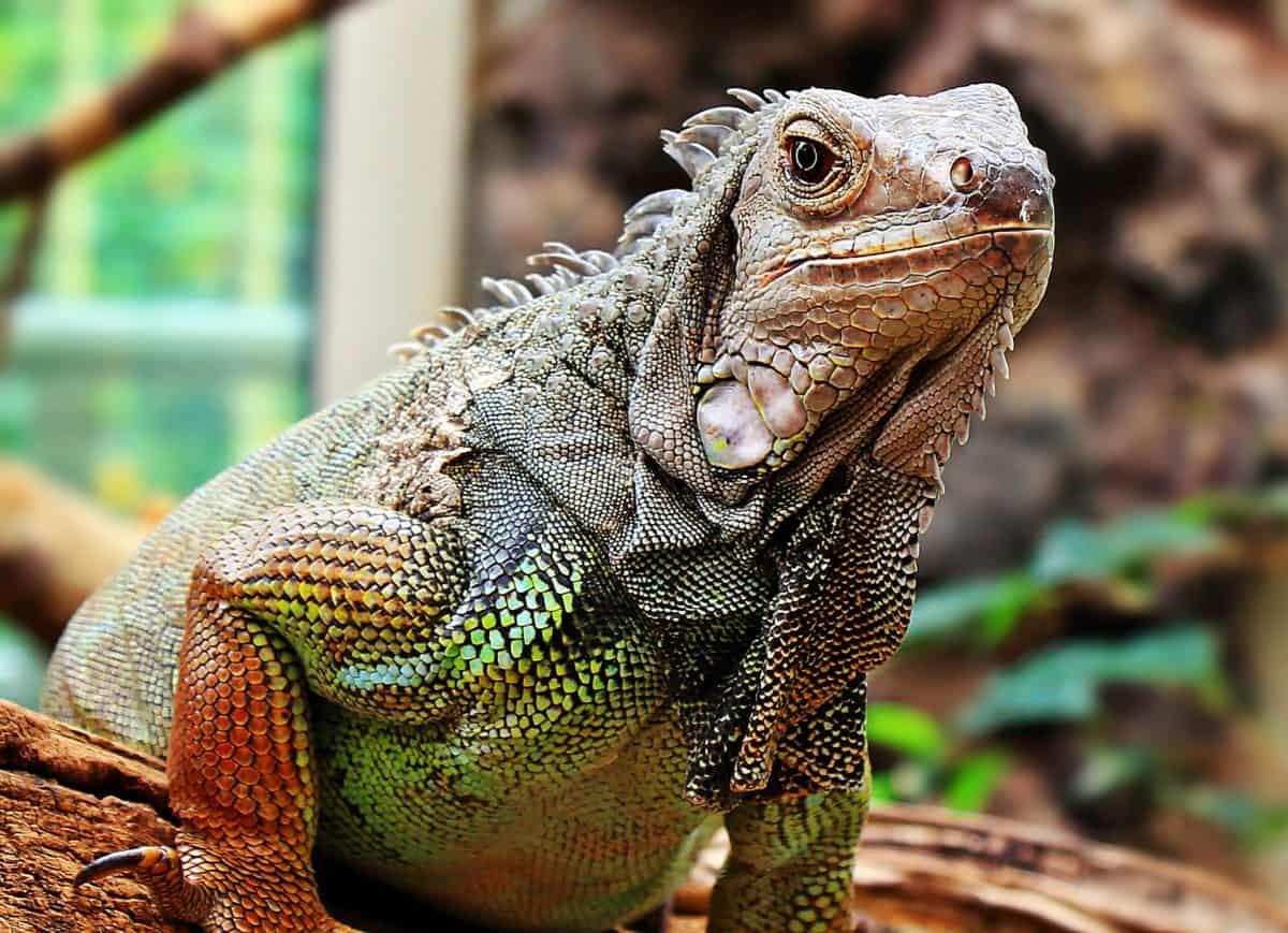 animal, lizard, reptile, wildlife, iguana, colorful, skin