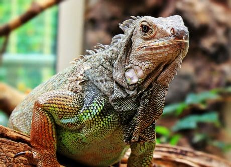 animal, lizard, reptile, wildlife, iguana, colorful, skin