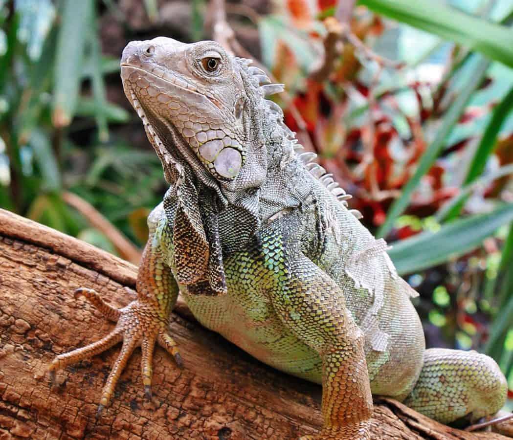 Lagarto, reptil, fauna, ojo, iguana, animales