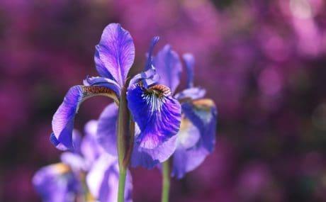 příroda, květiny, byliny, rostliny, zahrada, okvětní lístek, květ