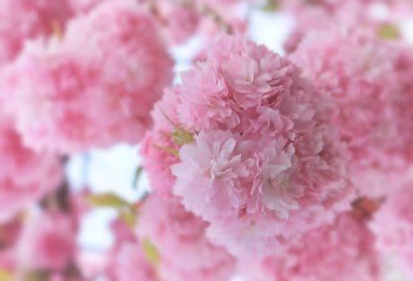 leaf, garden, petal, pink flower, nature, pink, plant, herb, blossom