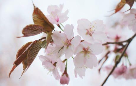 Tuin, bloem, appelboom, natuur, tak, blad