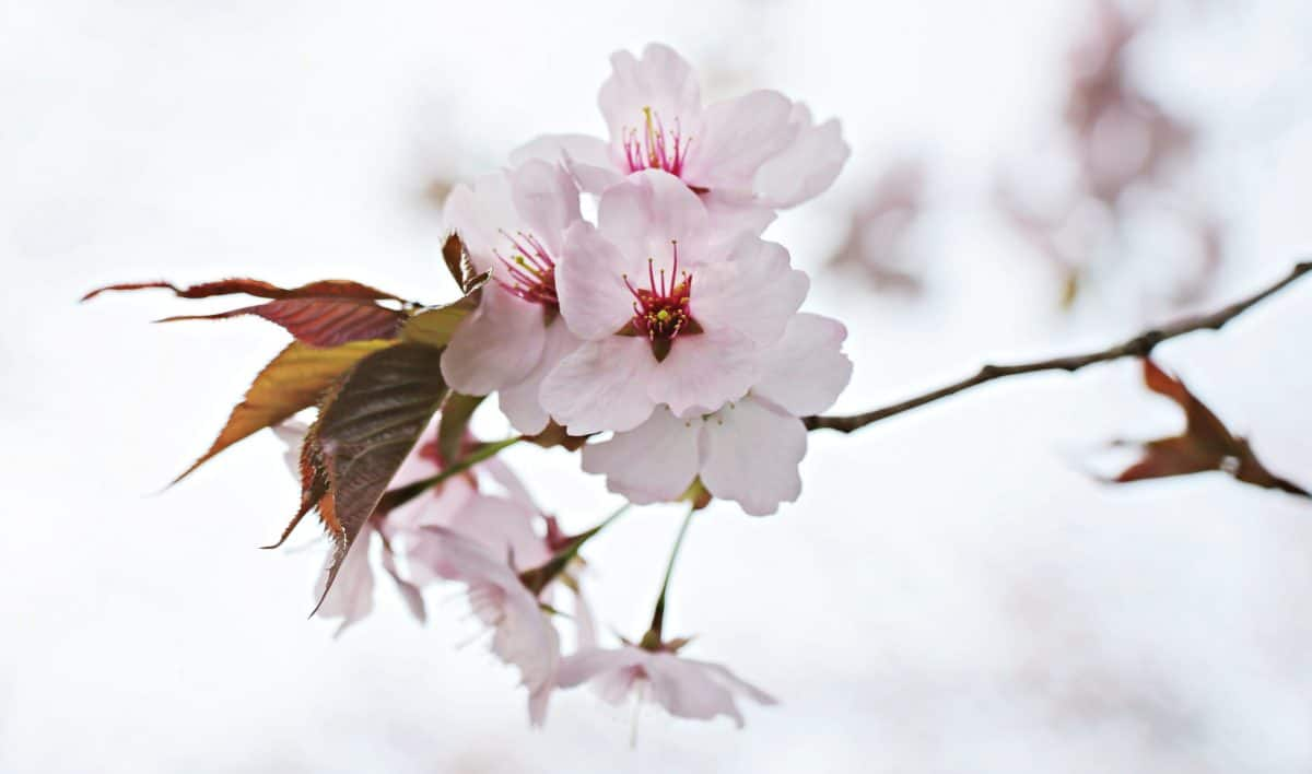branch, flower, tree, nature, leaf, cherry, Japan